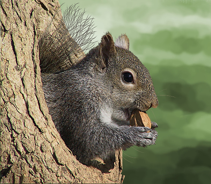 brown squirrel holding nut