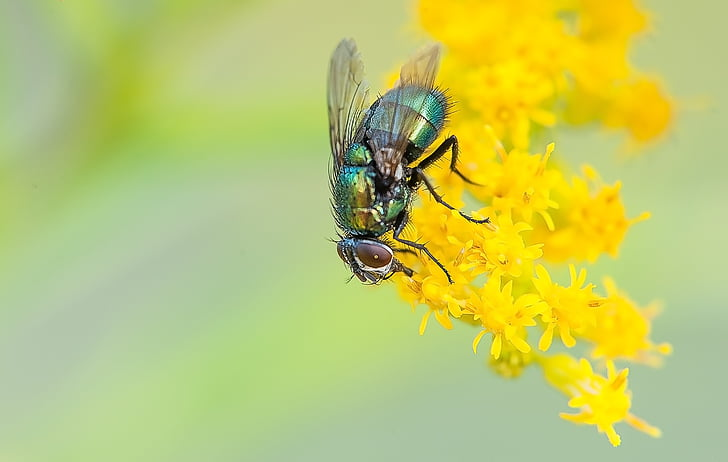 green bottle fly on yellow petaled flower