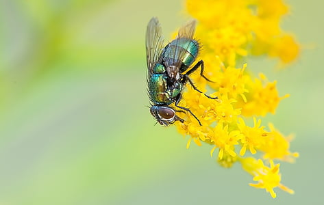 green bottle fly on yellow petaled flower