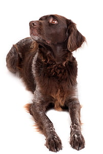 adult brown and white German pointer