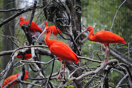 flock of long-beak red birds
