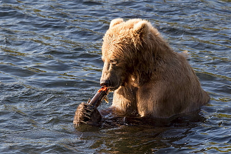 brown bear eating gray fish in body of water during daytime