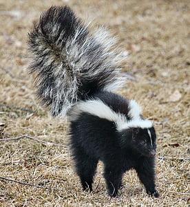 white and black skunk in daytime