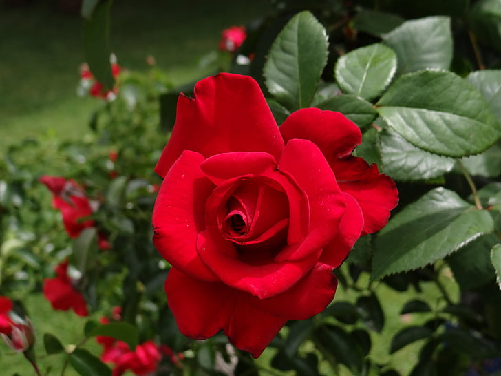 red rose blooming during daytime