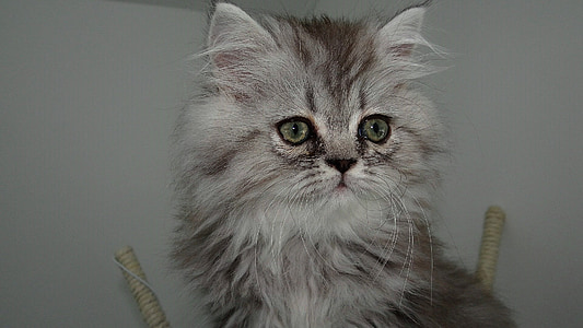 gray Persian cat