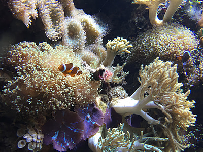 clown fish on sea anemone