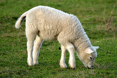white lamb on eating grass