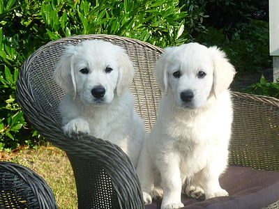 two white Labrador retriever puppies sitting on wicker chair
