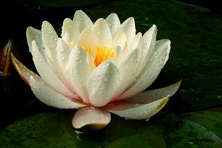 white waterlily flowers with water dew