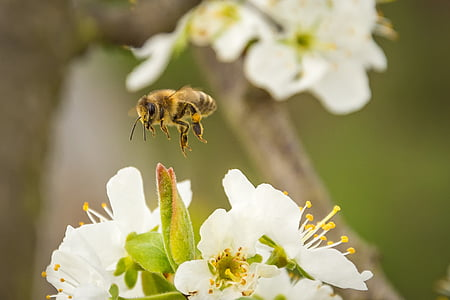 yellow and black bee flying on top of white flowers