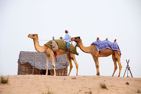 two camels on sand with man