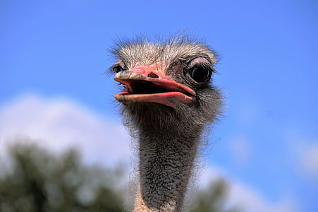 red and black ostrich head