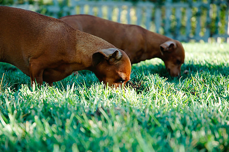 two tan dachshunds standing on green grass