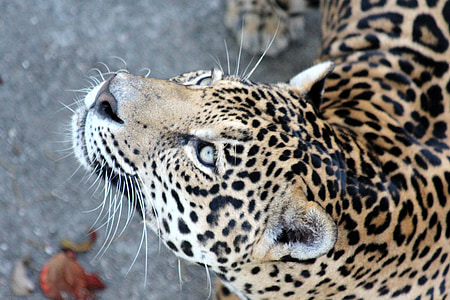 photography of leopard