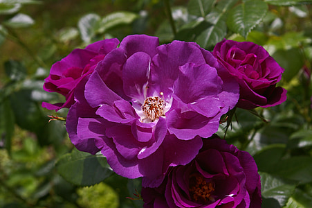 close up photography of purple roses in bloom at daytime