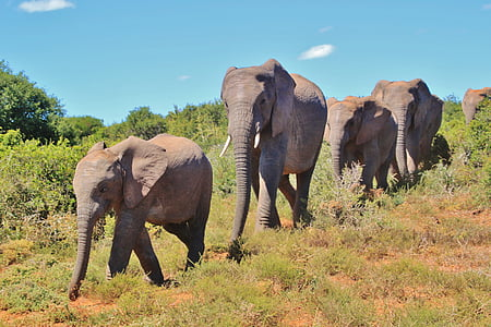 wildlife photo of four elephants