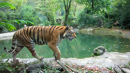 brown and black tiger beside body of water