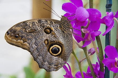brown owl butterfly perched on pink orchid