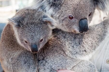 two brown koalas