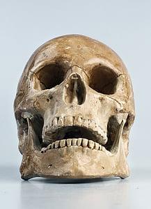 brown human skull