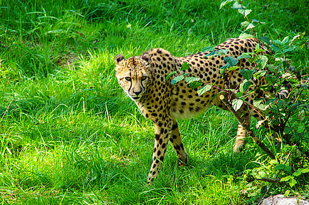 cheetah walking on green lawn