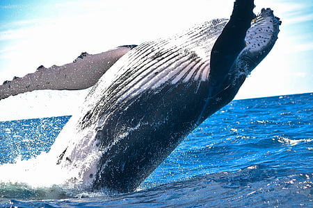 black and white sperm whale