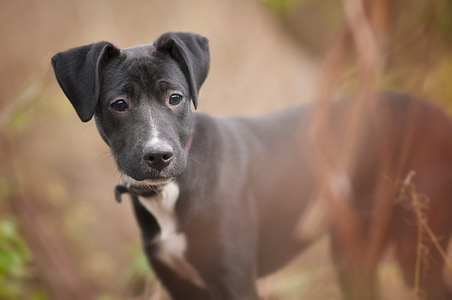 black and white American pit bull terrier during daytime