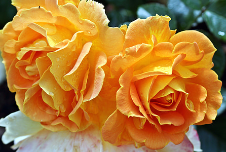 orange rose flower
