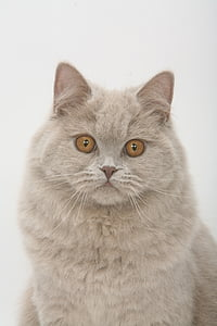 front photo of reclining gray cat with gray background