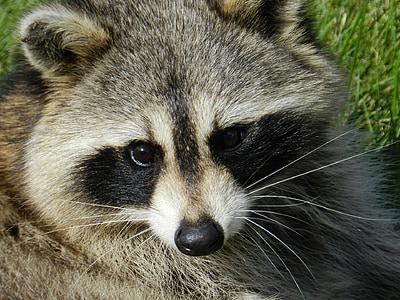 close up photo of raccoon