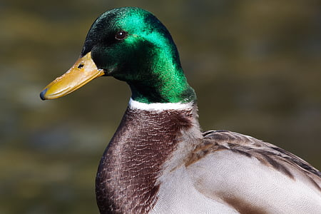 brown and green mallard duck