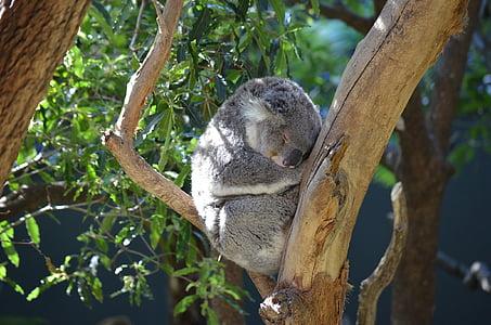 gray koala sleeping while sitting on tree branch during daytime
