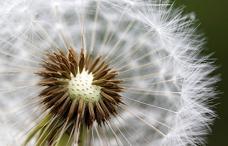 photo of white Dandelion