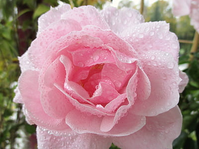pink rose with dewdrops closeup photography