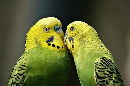 close-up photography of two green budgerigars