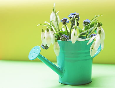 snowdrop flowers in watering can