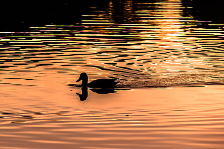 silhouette photography of duck swimming during sunset