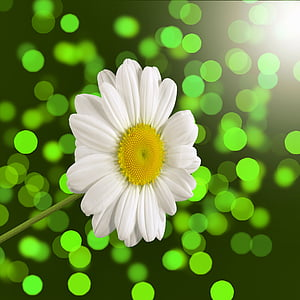 closeup photography of white daisy flower