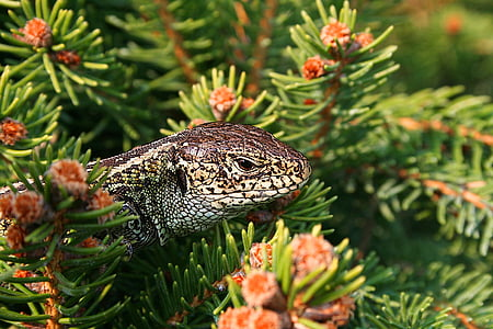 white and black monitor lizard on pink petaled flower plants
