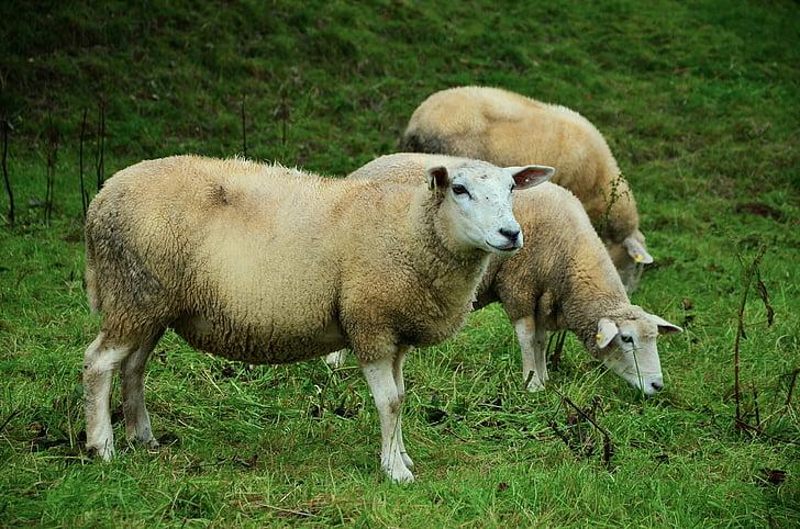 three tan lambs on green grass