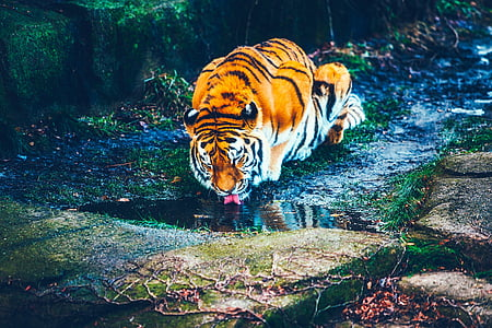 wildlife photography of tiger drinking water