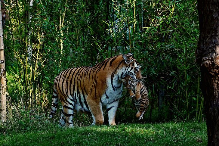 brown tiger with tiger cub