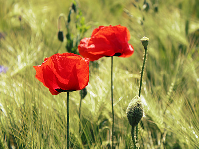 red poppy flowers selective focus photography