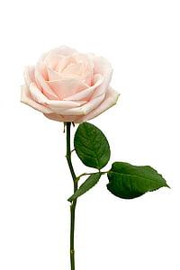 macro shot of white rose