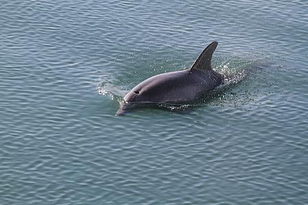 black dolphin swimming