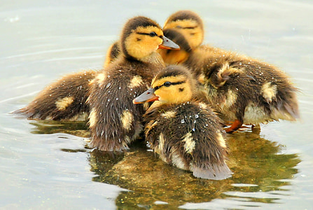 five brown-and-yellow ducks in water