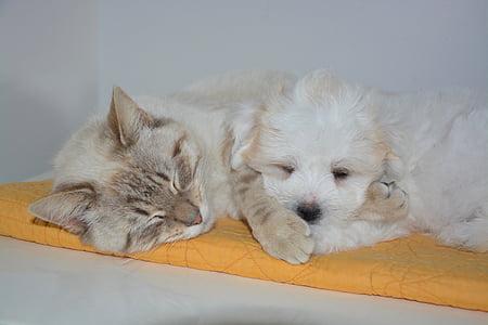 short-coated beige cat beside long-coated beige puppy