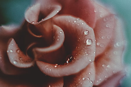 shallow focus photography of pink flower with morning dew