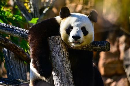 panda sitting on bench