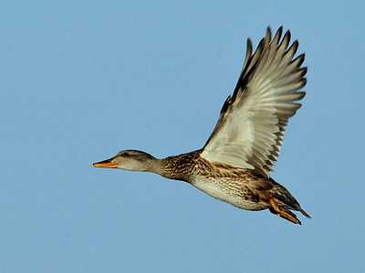 mallard duck flying on mid air